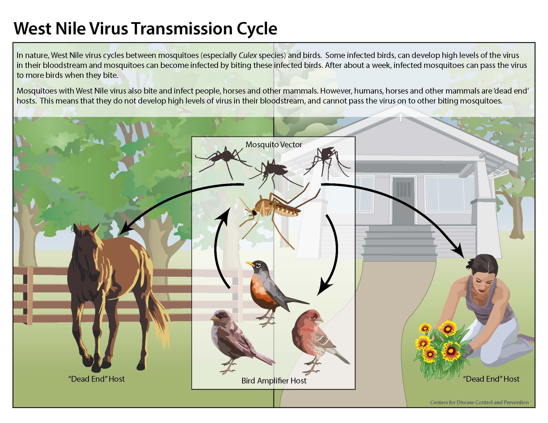 13_240124_west_nile_lifecycle_birds_plainlanguage_508
