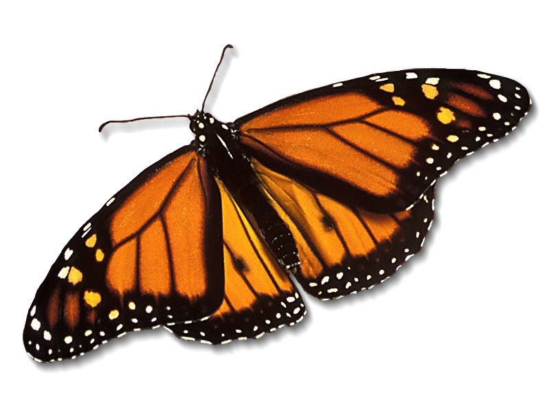 monarch-butterfly_800x600